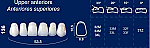 Upper Anterior Acrylic Resin Teeth #136 (NewTek)