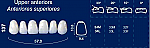 Upper Anterior Acrylic Resin Teeth #137 (NewTek)