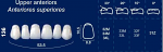 Upper Anterior Acrylic Resin Teeth #136 - NewTek