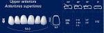 Upper Anterior Acrylic Resin Teeth #4H - NewTek