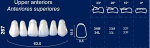 Upper Anterior Acrylic Resin Teeth #267 - NewTek
