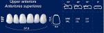 Upper Anterior Acrylic Resin Teeth #137 - NewTek